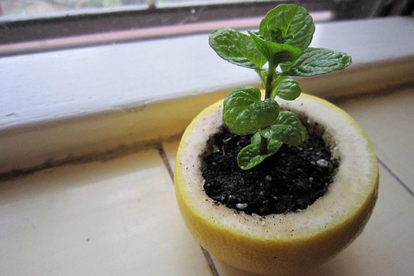 A Citrus Peel Starter Pot For Seedlings
